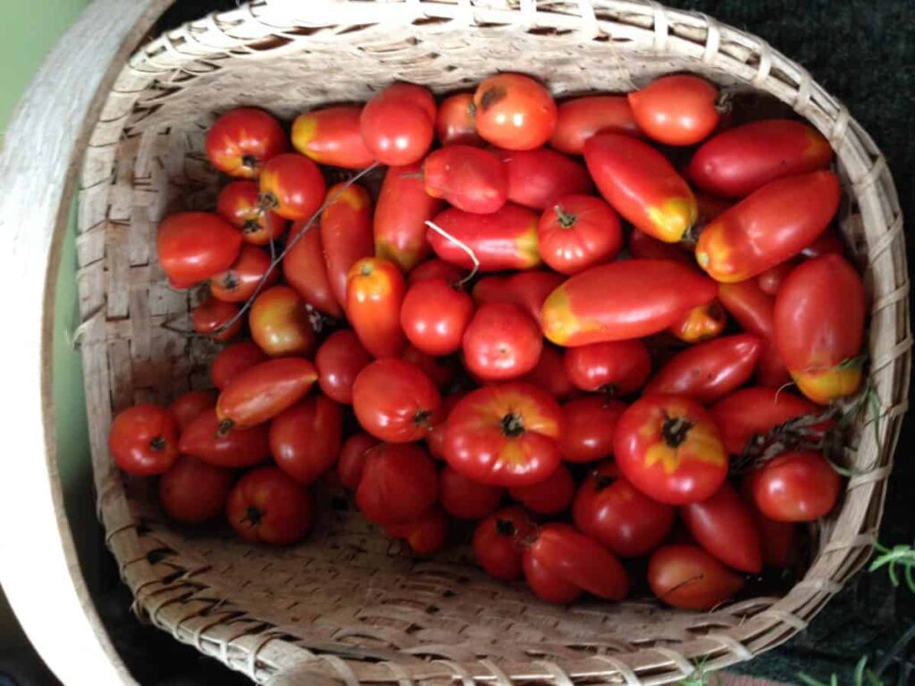 Harvesting Tomatoes - preserve garden vegetables