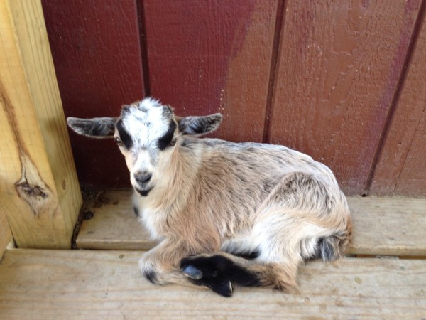 Baby goat in Amish Country PA