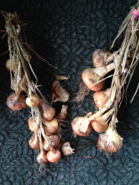 Braid onions together to preserve garden vegetables