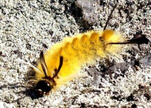 yellow fuzzy caterpillar