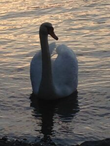 Swan on the Sakonnet River in Tiverton, Rhode Island