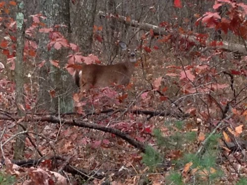 deer at Mine Fall's
